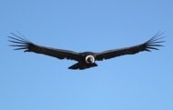 Colca Canyon tours - Condor's flight Andes Peru